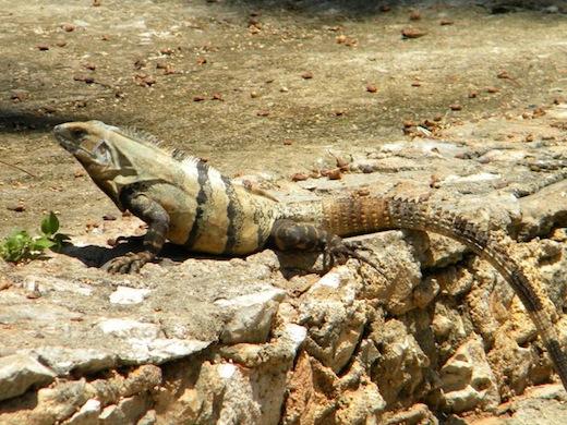 Veel wildlife in Belize.