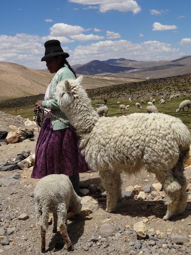 peru-bolivia-colca-del-canon-alpaca