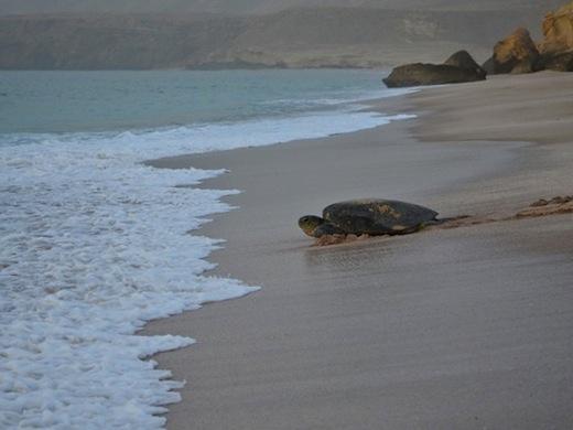 Schildpaddenreservaat Ras Al Jinz (Foto: Rolf Crisovan)