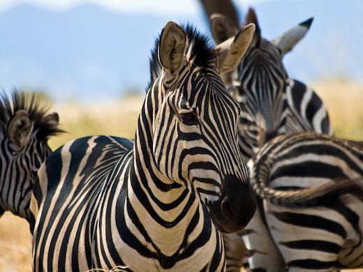 zebra-kenia-tanzania