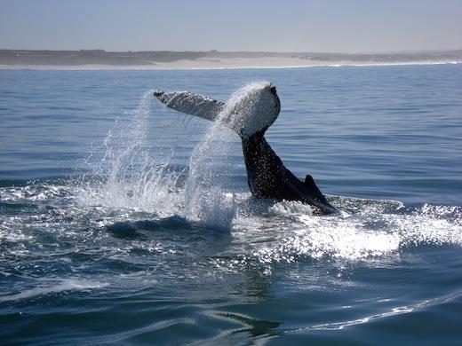 walvis-duik-zuid-afrika